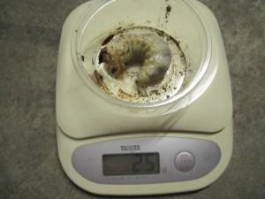 いまさら?M.タランドゥスの最適な菌糸ボトル容量は?