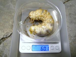 シワタケ菌糸×スマトラヒラタクワガタ
