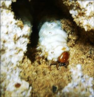居食いする菌糸