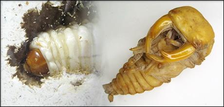 菌糸を使ったクワガタ幼虫飼育